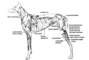 Masterclass hondenmassage